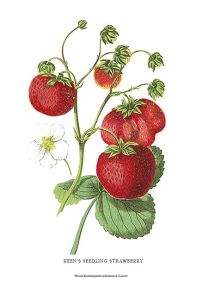 16147-strawberry